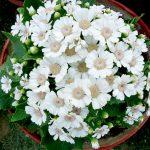 花カゴに詰められた白いシネラリア