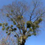 枯れ木に咲くヤドリギ