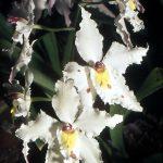 白い花を咲かせたオドントグロッサム