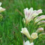 白い花のフリージア