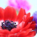 赤、紫、ピンクのアネモネの花