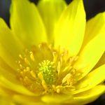 アップして撮影された福寿草の花