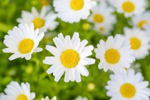 白い花のデイジーアップ