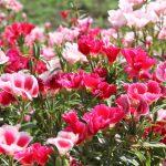 群集しているゴデチアの花