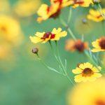 ハルシャギクの花