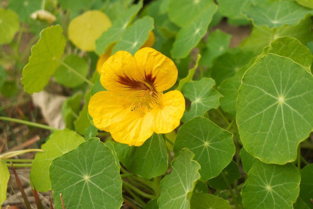 黄色の花を咲かせたナスタチウム