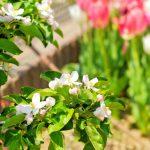満開に咲いたリンゴの花