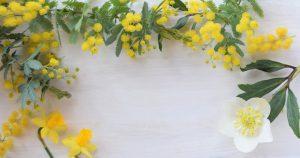 ミモザの花と白い背景