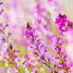 鮮やかな花を咲かせたリナリアの花