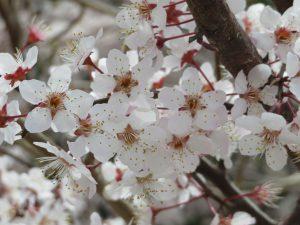 満開なスモモの花
