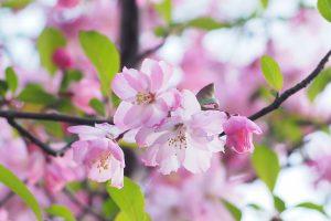 ピンク色の花を咲かせた花カイドウ
