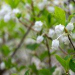 春のドウダンツツジ