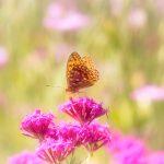 ムシトリナデシコと蝶