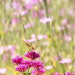 ムシトリナデシコの花