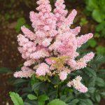 アスチルベの花