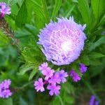 ストケシアの葉と花