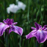 ハナショウブの花