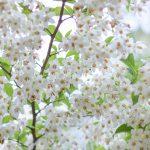 一面に咲くエゴノキの花